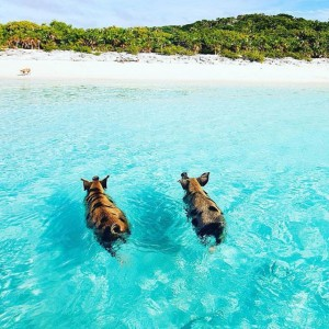 swimmingpigs